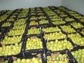 Продаём яблоки польские Гольден