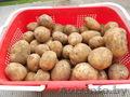продам картофель оптом из белорусии