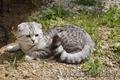 Шотландский вислоухий кот  окраса Вискас приглашает подругу в гости.
