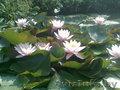 Водная лилия -нимфея
