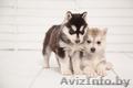 высокопородные шикарные щенки Хаски с шикарной родословной